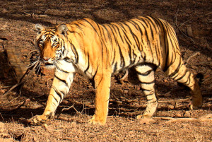 Tiger_in_Ranthambhore